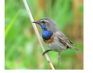 Langeoogs seltene Singvögel