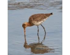 Wattwanderung für Vogelfreunde
